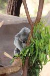 KoalaSleeping